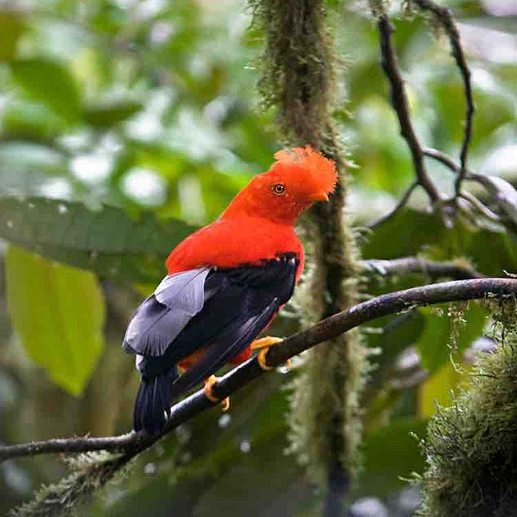 Birding in Mindo Tour